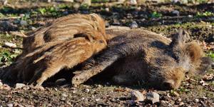 beheren-populatie-wilde-varkens